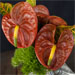 vase with cinnamon anthurium
